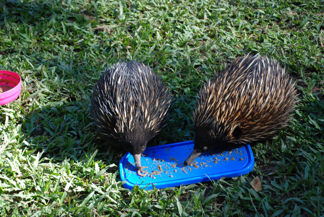 Echidnas.  These little mammals are some of the few that lay eggs.